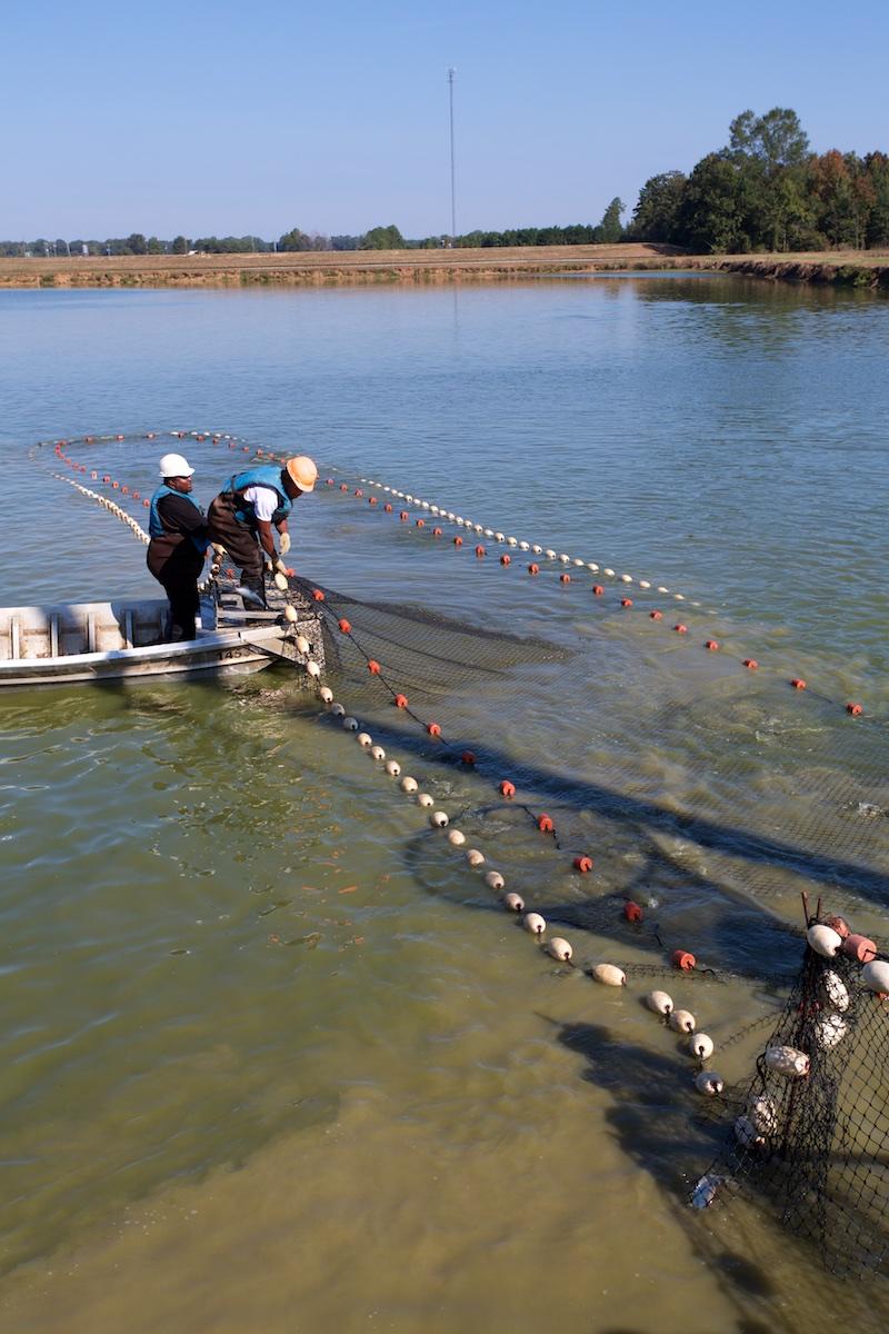 Catfish Farming Alabama