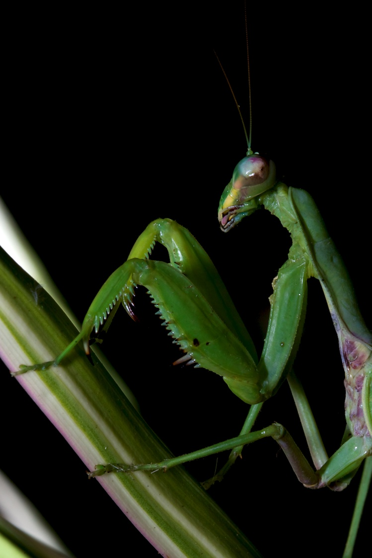 Preying Mantis - Hawaii