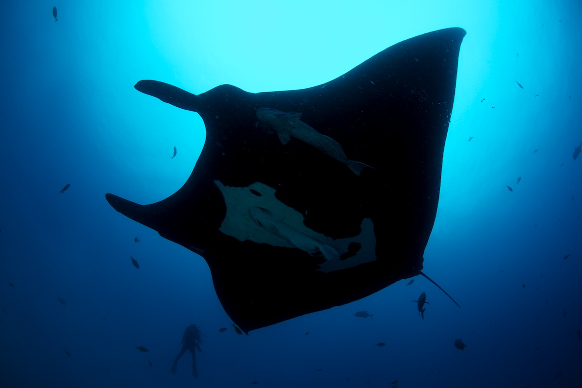 Manta and Diver - San Benedicto Island, Mexico