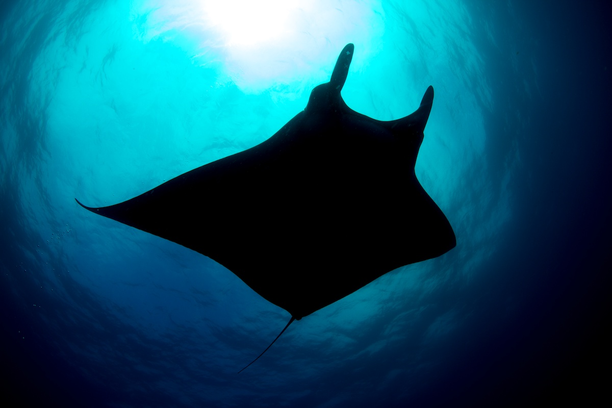 Pelagic Manta Ray - San Benedicto Island, Mexico