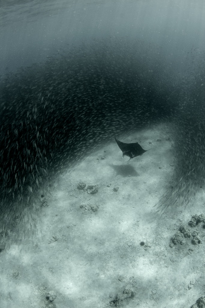 Manta ray crusing through a massive baitball of akule off the Big Island, Hawaii