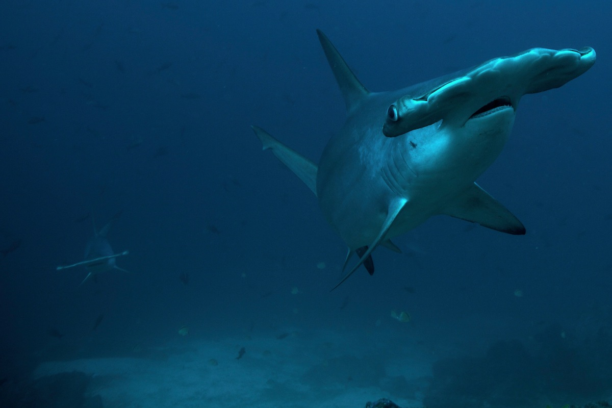 Two scalloped hammerhead sharks approaching at Cocos Island, Costa Rica