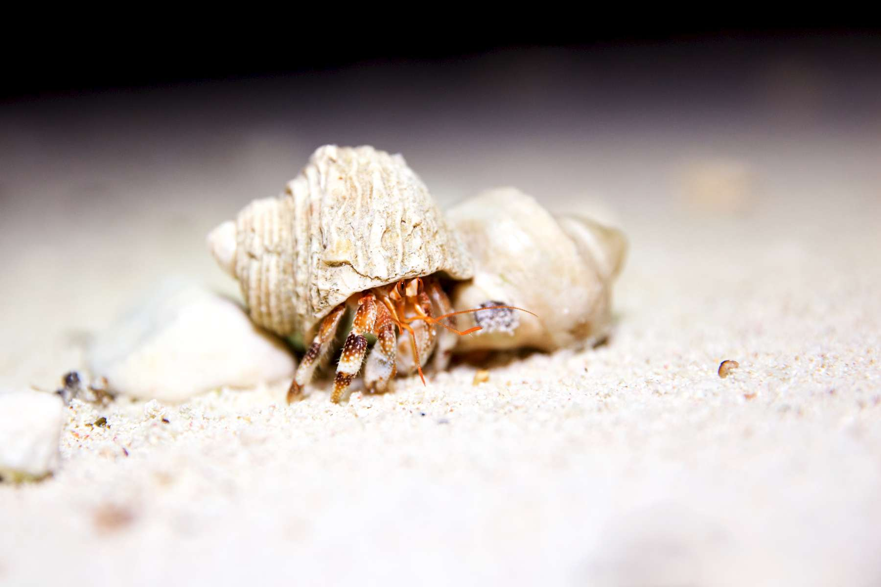 Hermit Crab at Palmyra Atoll
