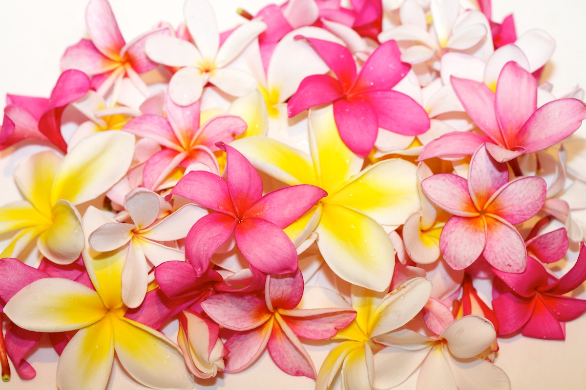 Plumerias - Hawaii