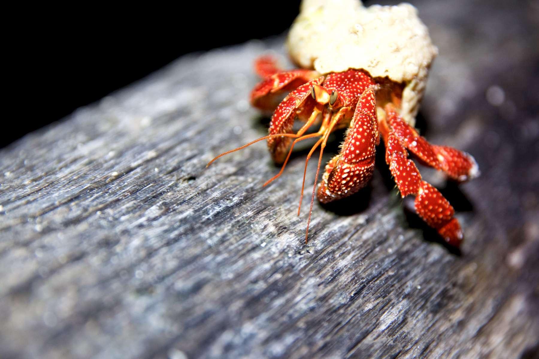 Hermit Crab at Palmyra Atoll