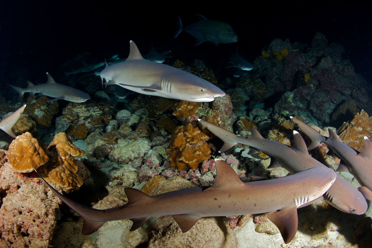 Whitetip reef sharks hunting at night in Cocos Island, Costa Rica