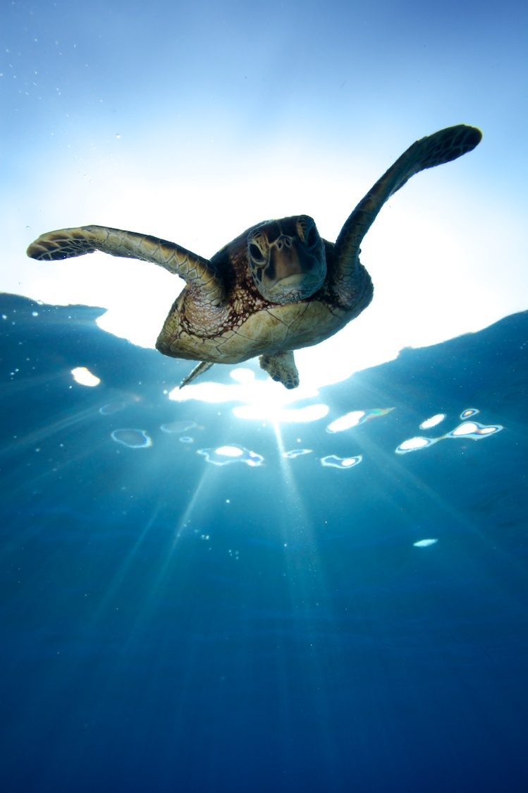 Perfect timing for a turtle coming down from a breath of air at sunrise.