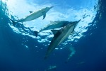 Hawaiian Spinner Dolphins playing in Kealakekua Bay