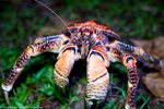 Coconut Crab at Palmyra Atoll