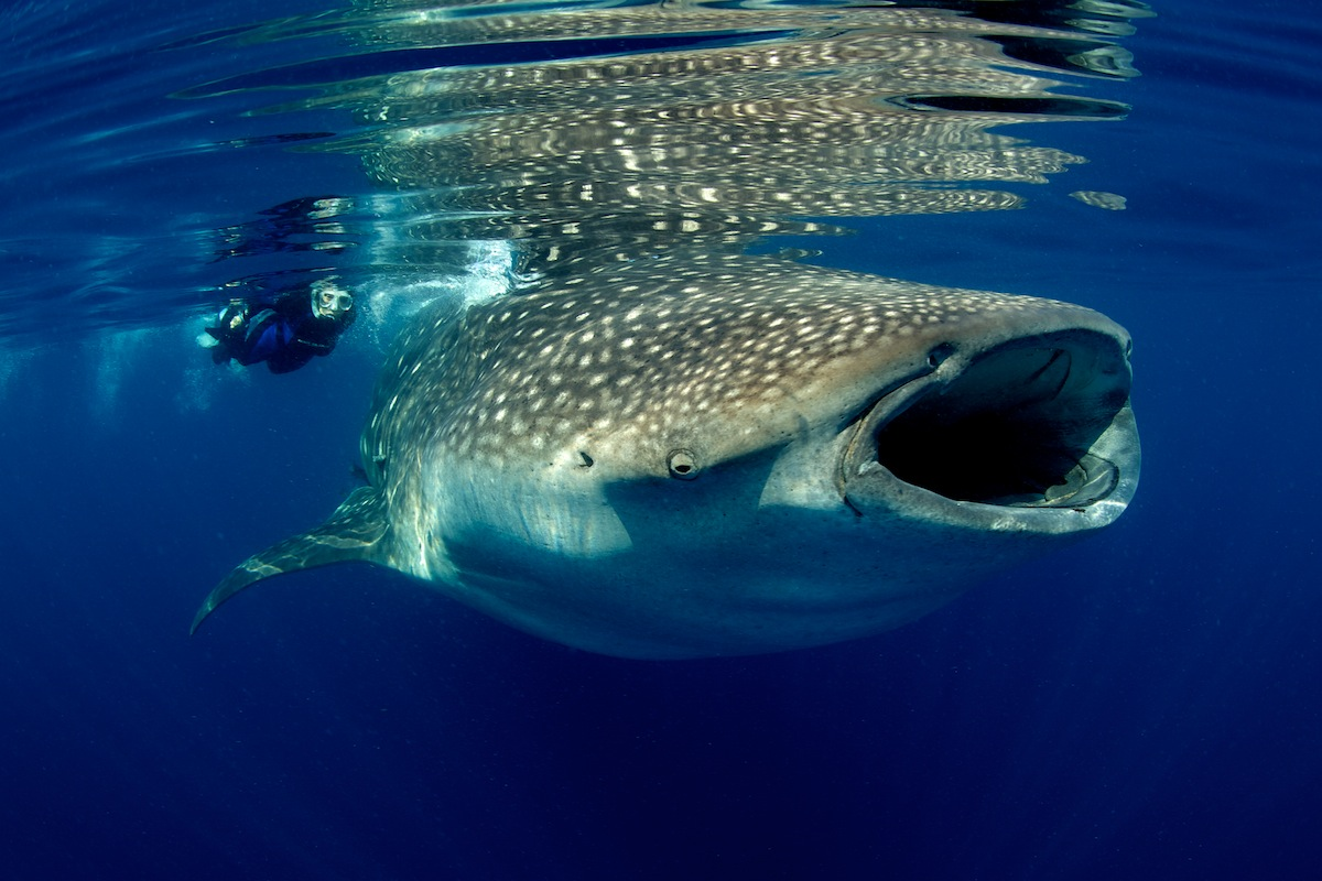 This photo was taken right after the Gulf Oil Spill - on an epedition for the film, Mission Blue - where we encountered the largest congregation of whale sharks in US waters ever.