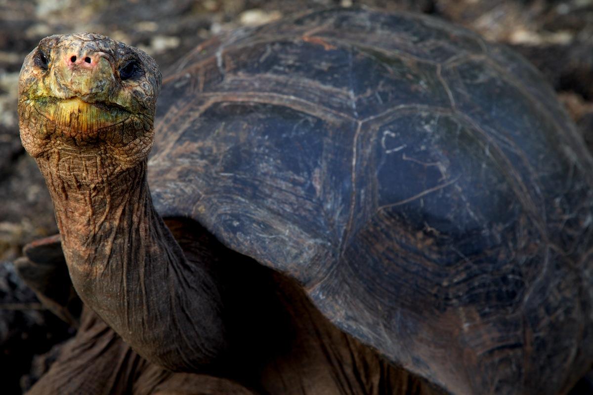 Galapagos Land Tortoise