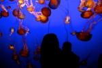 Monterey Bay Aquarium, Jellyfish Exhibit