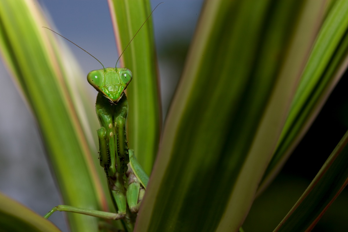 Preying Mantis - Keauhou, HI
