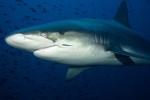 Galapagos Shark at Wolf Island - Galapagos
