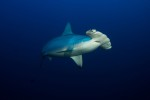 Hammerhead up close at Cocos Island - Alcyone