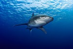 Oceanic White-tip shark in the Red Sea off Egypt