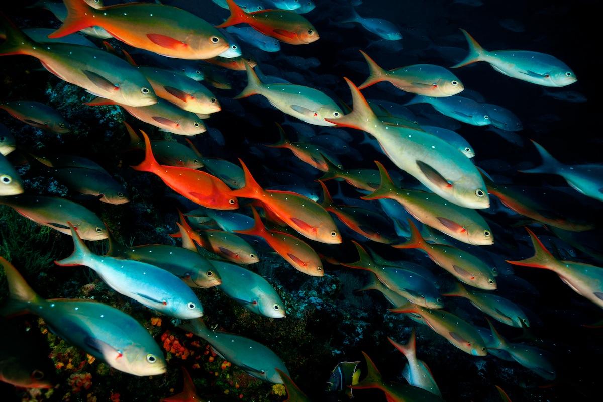 Choke fish for Pacifico fish company