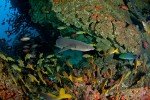 White-tip Reef Sharks patrolling a busy, crowded cave in Cocos Island, Costa Rica