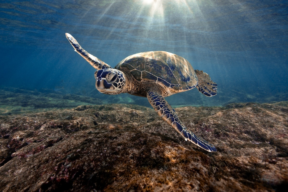 Hawaiian Green Sea Turtle at sunrise on the Kona Coast