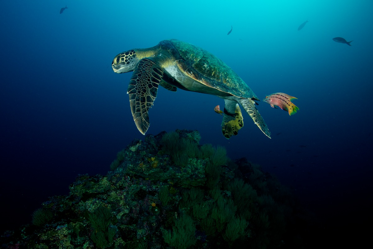 Green Sea Turtle being cleaned at sunrise by some wrasses in the Galapagos