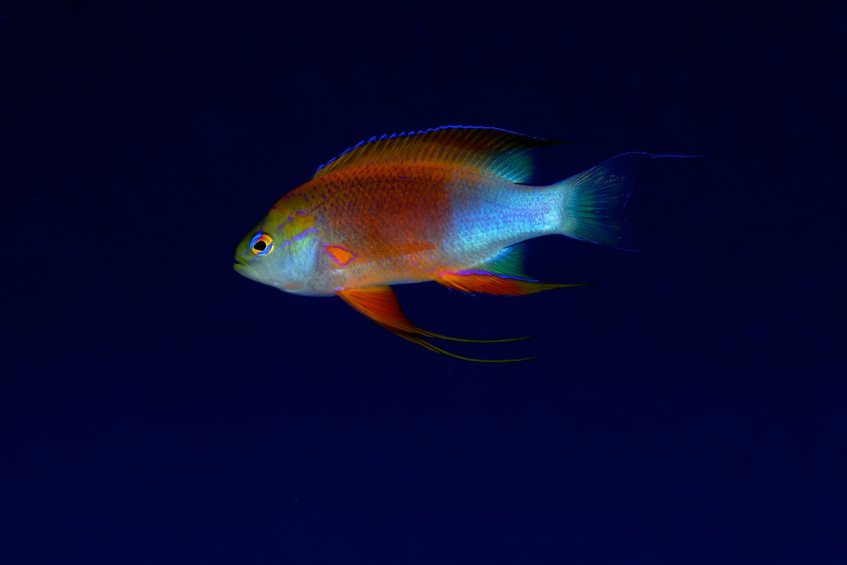 Mail Longfin Anthias in Hawaii