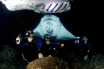 Manta rays gather off the Kona Coast to feed on the plankton drawn in by scuba diver's lights