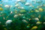 Underwater Tilapia Fish Farm, Honduras