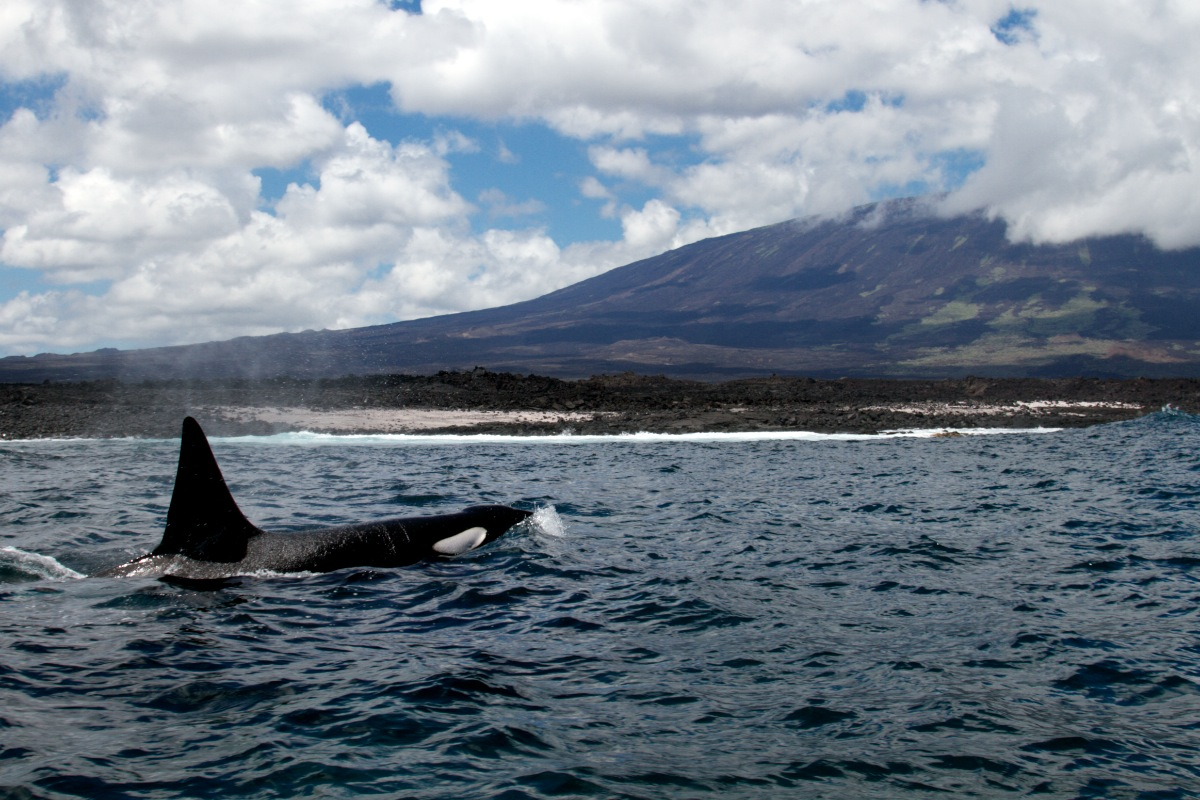 Orca in the Galapagos - Ecuador