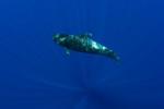 pilot whales tenerife kona