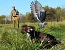 Ray Takmajian watches as his dog Belle, an English Cocker Spaniel, flushes a pigeon during a training session. Takmajian, along with a group of Spaniel owners, is hoping to become the first Spaniel Hunt Test Club in Illinois. They practice quartering in the field on the property of Danelle and Larry Oliver in Dorsey Ill.