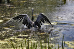 An oil-soaked Canada goose struggles to fly out of the Kalamazoo River after a pipeline ruptured July 26, sending nearly a million gallons of oil into the river near Marshall. The feathers of the goose were saturated in thick crude oil, making it impossible to fly.