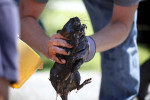 Dave Jenkins of Marshall holds onto a muskrat as a group attempts to clean oil from the animal. The oil coated thousands of animals — from turtles to muskrats to Canada geese — and fouled trees, vegetation and floodplains.