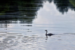 An oil-soaked Canada goose swims through crude oil that streches from bank to bank in the Kalamazoo River. State officials estimate it won't be until 2015 that the river will be back to normal.