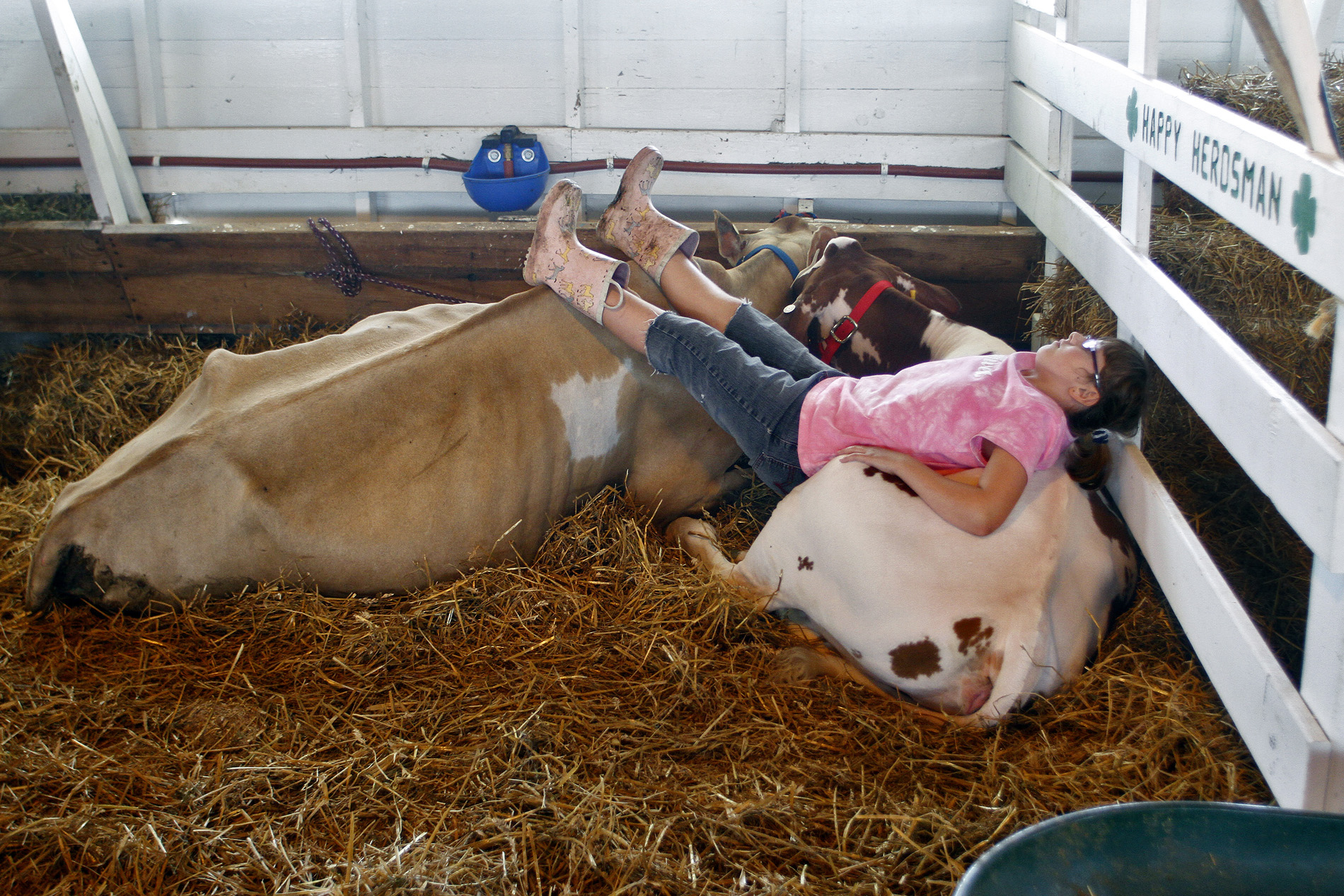 Kimmie Eaton, 10, of Centreville rests on her two dairy cows inside a barn at the St. Joseph County Grange Fair. This is Eaton's first year participating in 4-H.