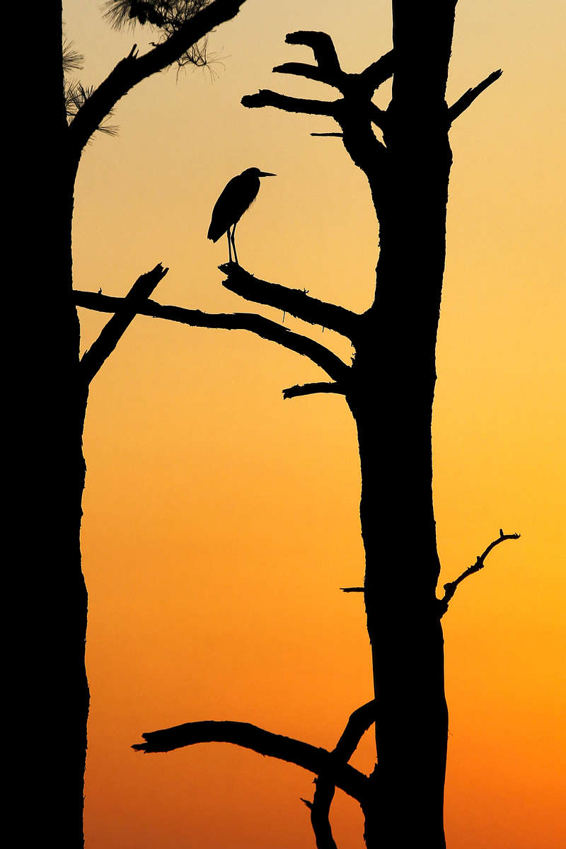 A great blue heron rests atop a tree as the sun sets over the James River Monday evening March 21, 2016.
