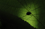 HM | Feature Picture StoryJohn SimmonsCharlotte ObserverA daddy longlegs is silhouetted on a leaf in my backyard.