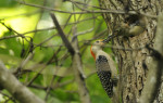 HM | Feature Picture StoryJohn SimmonsCharlotte ObserverA red-bellied woodpecker feeds its young in the nest hole of a sweet gum tree.