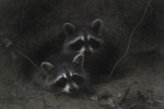 HM | Feature Picture StoryJohn SimmonsCharlotte ObserverIn almost total darkness a pair of raccoons popped out of an old beaver den in the bank of the creek next to my house.