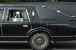 Second Place | FeaturesTodd Sumlin, The Charlotte Observer4/15/2011 DOG OF THE DEAD? Duke hangs his head out the of a hearse while riding with his human, Neal Hager in west Charlotte Friday morning. Hager bought the car three years ago to transport his aging half St. Bernard, half Newfoundland dog. Hager says, {quote}That's his car.{quote} He said people frequently do double-takes when the see 10 year old Duke passing on his outings to the nearby park. Hager said, {quote}They point and look, but everybody smiles.{quote}