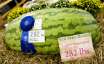 Third Place | Photo StoryJerry Wolford, News-RecordTodd Dawson's new NC record watermelon was nine pounds shy of the world record.