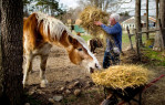 Second Place | FeatureJerry Wolford, News-RecordSarah, a rescued draft horse, sneaks a bite of hay from the wheel barrow as Jim Hall makes his rounds feeding his two draft horses, three miniature horses, ten cats, and eight dogs on Timberjack Farm.