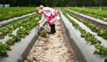 Honorable Mention | FeatureAndrew Craft, The Fayetteville ObserverCaroline MacKinnon, 5, picks strawberries at the McNeill Strawberry Farm along Chickenfoot Road.JUDGES COMMENTS: Just plain pretty
