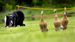 Third Place | Photo StoryJerry Wolford, News & RecordA Border Collie has a bead on three ducks it is herding during a herding dog demonstration.