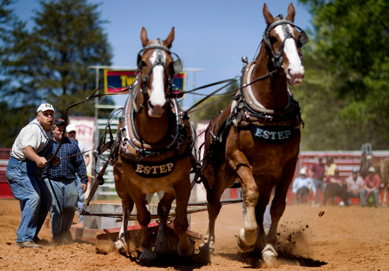 Sports POY: Runner UpJerry Wolford, News-RecordDavid Estep, of Marion, VA, directs his lightweight division draft horses, Chief and Dan, to a full pull of 7000 lbs. at the Oak Ridge Horse Show's Draft Horse Pull event.