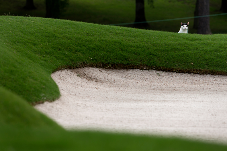 Sports POY: Runner UpJerry Wolford, News-RecordA neighborhood cat pauses at the edge of a sand trap on the 11th fairway. It was assumed by fans nearby that the cat enjoys the trap for nature's call.