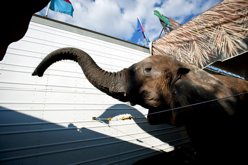 Third Place | Multiple PhotosLauren Carroll, Winston-Salem JournalShannon, an African elephant, waits for a snack from her owners, Bill and Cindy Morris, at the Dixie Classic Fairgrounds Wednesday, October 2, 2013.