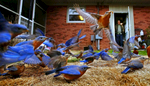 First Place | FeatureGerry Melendez, The StateAndy Uswa gazes at a group of bluebirds as they feed in his backyard, Monday, February 16, 2015. \{quote}The story with the bluebirds began in the fall of 2013,\{quote} he said. \{quote}I looked out the kitchen window and I saw a couple of bluebirds.\{quote} Uswa went to Wild Birds Unlimited and bought a bag of live mealworms along with dried worms. As he fed them, the numbers started to increase. \{quote}The latest count in January was more than 80,\{quote} he said. \{quote}I don\'t know how many will stick around and lay their eggs. If they do I\'ll just have to buy more worms.\{quote}