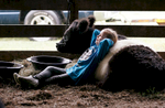 Second Place | FeatureMark Dolejs, Daily DispatchHolly Thornburg, 6, rests against Cupcake, a belted galloway cow, as she waits for her category to be judged during the Four County 4-H Livestock Show at the Granville County Expo Center.