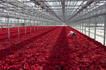POY: Runner UpJill Knigt, The News & ObserverAbe VanWingerden co-owner of Metrolina Greenhouses reaches to remove a yellow flag from a sea of poinsettias December 3, 2015 in Huntersville, N.C.
