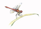 Dragon_Fly_for_web